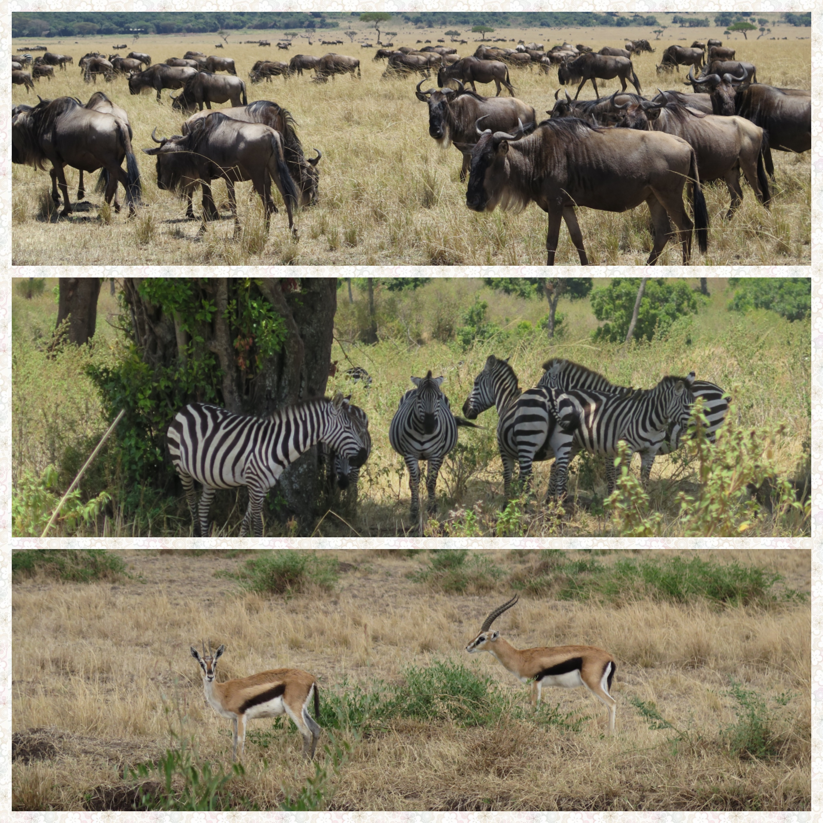 Wildebeest, Zebras and Thomsons Gazelle