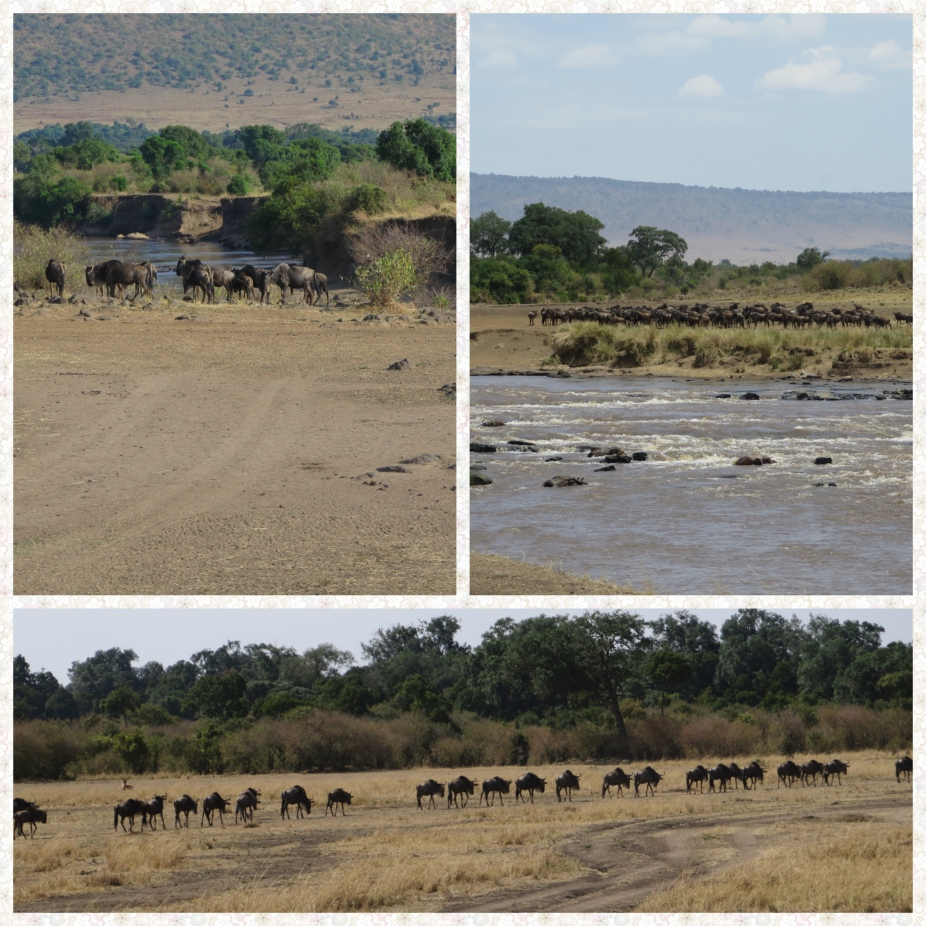 Wildebeest herd on either sides of the Mara River