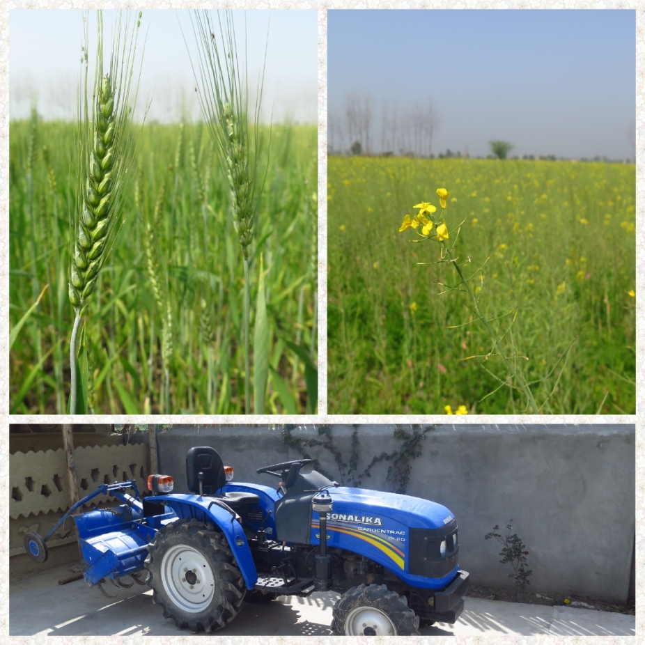 Wheat, Mustard fields and a tractor