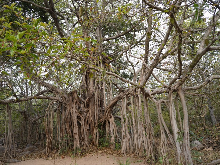 The Jamtara wilderness camp and the Banyan treee where bonfire sessions are held