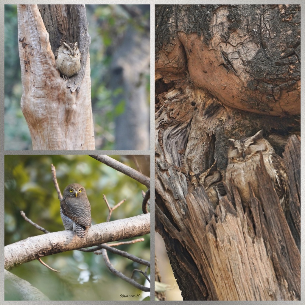 Picture collage of owls - Indian scops owl and jungle owlet