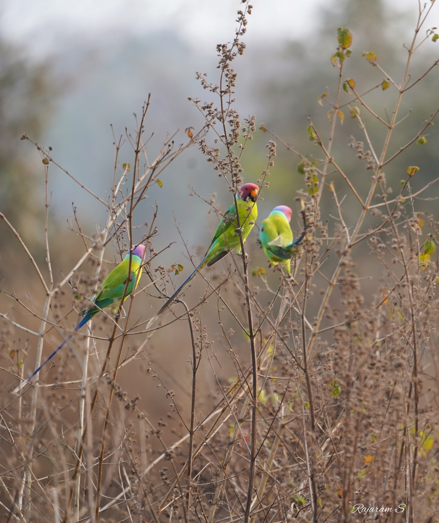 A group of male plum headed parakeets