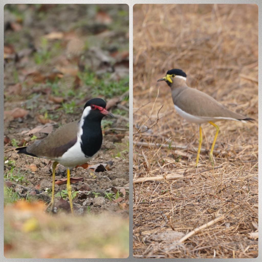 Red and Yellow wattled lapwings