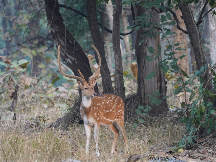 An antlered spotted deer watching out attentively